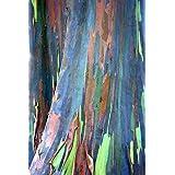 55 semillas de Eucalyptus deglupta, Rainbow-árbol, arco iris-Gum, semillas viables raras