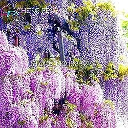 Shopmeeko 10 Stücke Glyzinien Pflanzen Schöne Bonsai Für Diy Hausgarten Echte und frische Blumen Pflanzen Glyzinien Sinensis Baum Diy Plant Sement: Rot