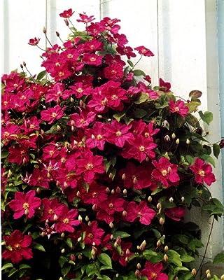 Clematis Ville de Lyon®, 1 Pflanze im 2 Liter Topf von Dominik Gartenparadies - Du und dein Garten
