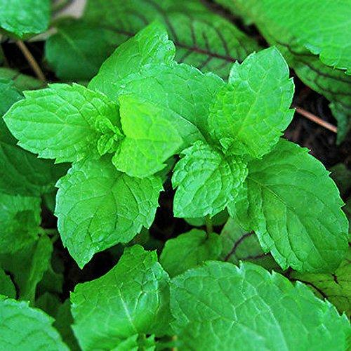 Aroma Herb (Aprettysunny 1000pcs Mint Peppermint Herb Seeds Aroma Lemon Balm Saranair Aromatic Leaves)