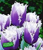 BALDUR-Garten Tulpen 'Blue Cummins', 8 Zwiebeln