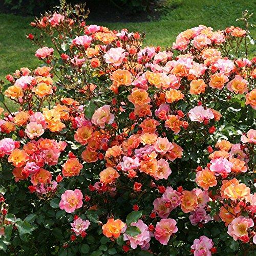 lichtnelke - Beetrose Jazz® Bodendecker-Rose Farbspiel 2L (Bodendecker Rosen)