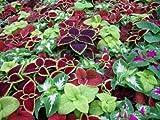 #9: coleus seed rainbow mix