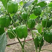 ScoutSeed Semillas de pimiento verde Semillas de vegetales orgánicos saludables Pimienta dulce Campana verde