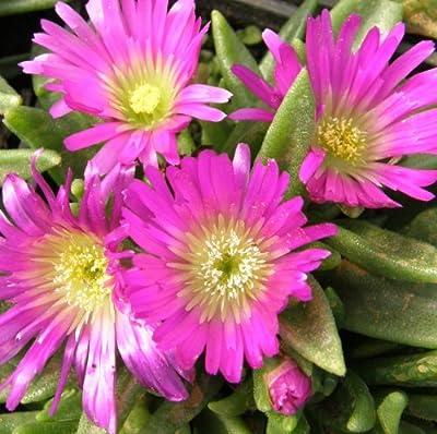Mittagsblümchen ( Delosperma sutherlandii ) Pink/Gelb von Lichtnelke Pflanzenversand auf Du und dein Garten