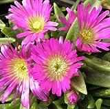Mittagsblümchen ( Delosperma sutherlandii ) Pink/Gelb