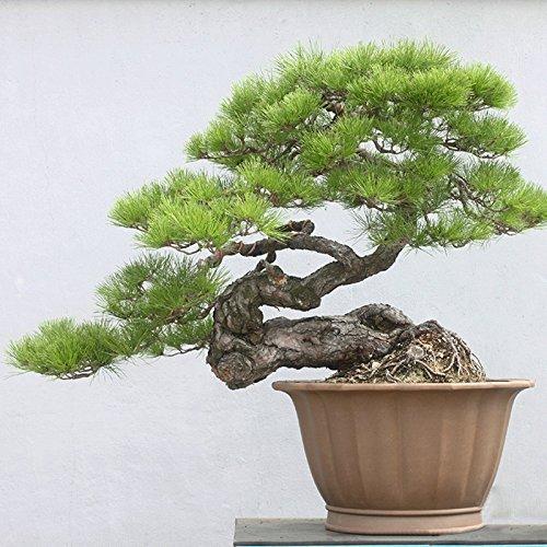 . Japanese Black Pine 20 Samen * Pinus thunbergii * Bonsai * Zier *. Bonsai Seed immergrüne Pflanze Bonsai (Bonsai Japanese Black Pine)