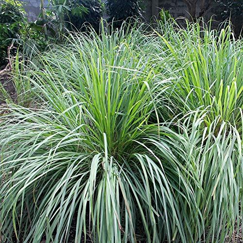 500 stücke lemongrass samen für wachsende mückenschutz kraut pflanze