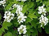 Vivai Le Georgiche Hydrangea Quercifolia (Ortensia)