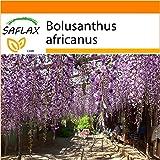 SAFLAX - Jardin dans le sac - Glycine arbre - 10 graines - Bolusanthus africanus