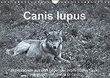 Canis lupus (Wandkalender 2019 DIN A4 quer): Impressionen in schwarz-weiss aus dem Leben der Wölfe (Monatskalender, 14 Seiten ) (CALVENDO Tiere)