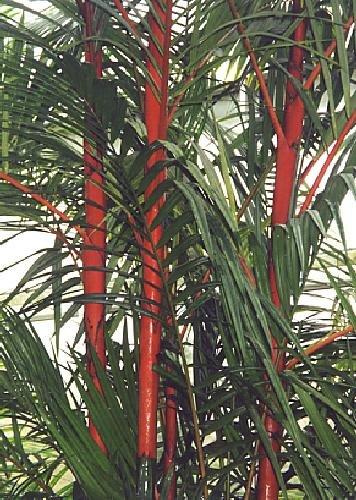 TROPICA - Palmier à tronc rouge (Cyrtostachys renda) - 10 graines- Australie