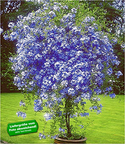 """BALDUR-Garten Zierstrauch""""Plumbago"""", 2 Pflanzen Bleiwurz Plumbago auriculata Kübelpflanze für Balkon und Terrasse"""
