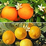 Pair of Large Citrus Trees in 6.5L Pots with Free Citrus Feed