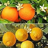 Citrus Trees, 1 Orange and 1 Lemon with 150 g Citrus Feed (Pair)