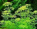 1 Bund Limnophila sessiliflora, kleine Ambulia von 1067 bei Du und dein Garten