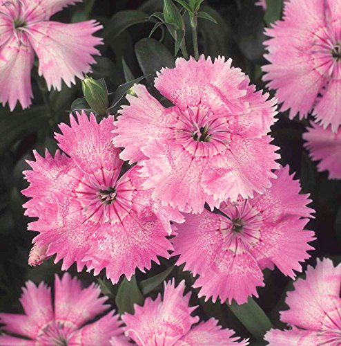JustSeed Blume Nelken Festival light pink F1 20 pilletierte Samen