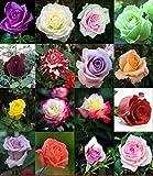 EinsAcc 500stk Mix Farben Rose Blumen Samen Balkon Garten Getopfte Rose Pflanzen Blumen