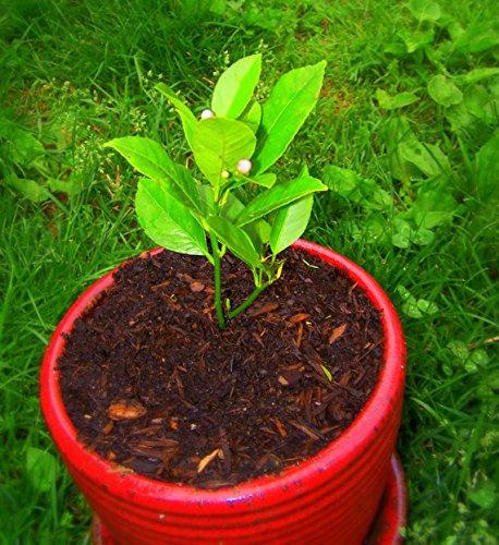 10pcs-bag-commestibili-semi-di-frutta-meyer-limone-esotico-semi-citrus-lemon-tree-bonsai-freschi