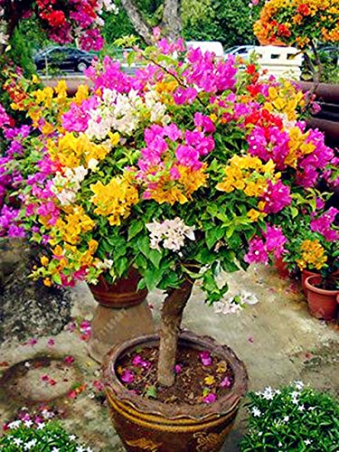agrobits 20 pc/sacchetto bougainvillea fiore perenne colori sgargianti delle bouganville spectabilis willd vegetali giardino bonsai pentola: 10