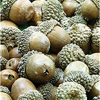 Baker Ross Natural Acorns (Pack of 50) For Kids To Decorate, Arts and Crafts