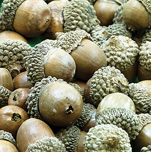 natural-acorns-for-making-models-crafting-and-decorations-pack-of-40