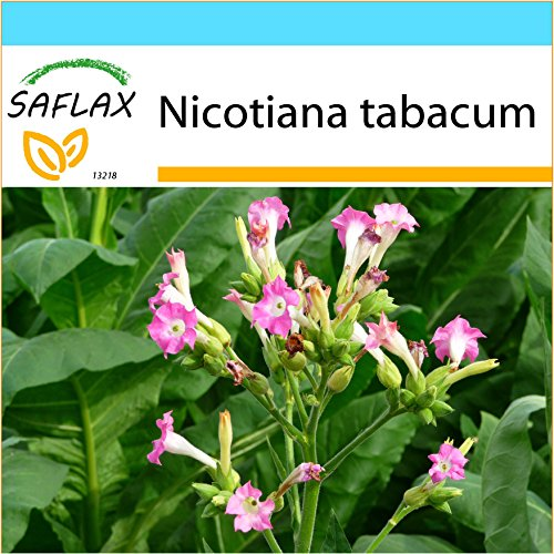 SAFLAX - Geschenk Set - Echter Virginischer Tabak - 250 Samen - Nicotiana tabacum