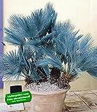 BALDUR-Garten Winterharte Blaue Zwerg-Palmen, 1 Pflanze, Chamaerops humilis Cerifera