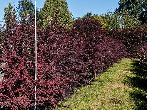 Blut-Berberitze – Berberis thunbergii Atropurpurea – Containerware 40-60 cm – Garten von Ehren®