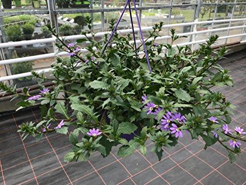 Sommerblumen Ampel Scaevola, blaue Fächerblume