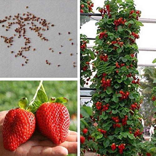 Ncient Semillas Fresas Semillas Comestibles Frutas Fresco de Plantas Bonsai Semillas para Jardín Balcon Interior y Exteriores