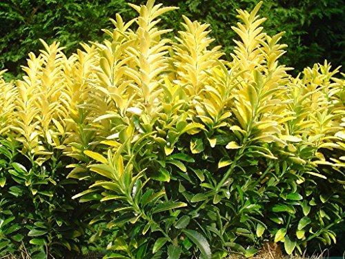 1-pianta-euonymus-happiness-vaso-16cm-sempreverdi-e-rampicanti