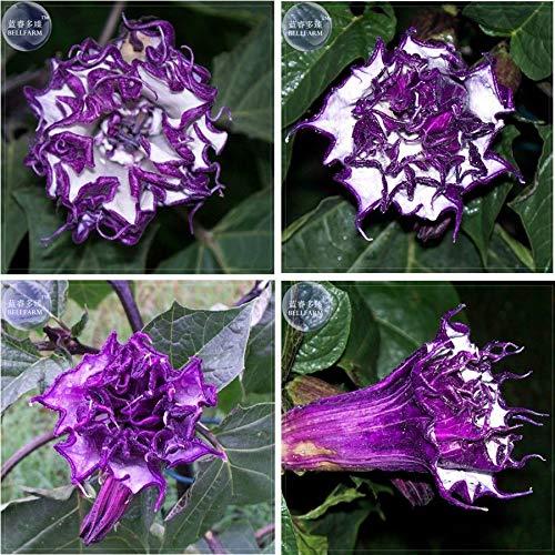 AGROBITS Die Pflanze Lila Mond-Engels-Trompete-Blumen-Samen Profi-Pack 20Pcs