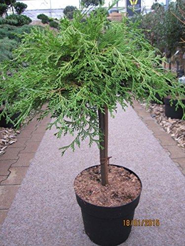 Chamaecyparis obtusa Kamarachiba - Zwerg-Scheinzypresse Kamarachiba Stamm