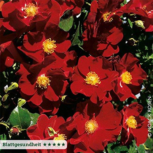 Bodendeckerrose 'Alcantara' - dunkelrot blühende Topfrose, im 6 L Topf - frisch aus der Gärtnerei - Pflanzen-Kölle Gartenrose