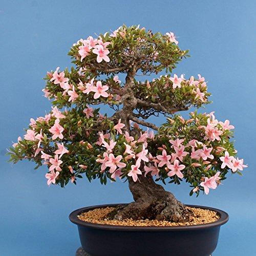 Bonsai – Japanische Satsuki Azalee 'Nyohozan', Rhododendron indicum 119/01
