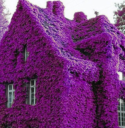 AIMADO-GartenClematis Kletterpflanze, 100Pcs Kletterpflanzen Samen Pflanze winterhart ClematisOnline Kletterpflanzen & Blumen