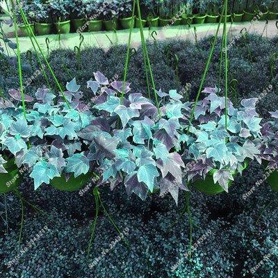 Plantes grimpantes des semences rares Parthenocissus tricuspidata semences jardin plantes ornementales Four Seasons Flower 60 Pcs / sac 12