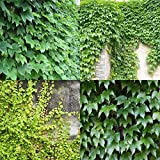 Tomasa Gartensamen- 50 Kletter-Efeu Samen,Immergrün, immer stark Kletterpflanzen Efeu samen Garten Dach Pflanzen Saatgut winterhart mehrjährig