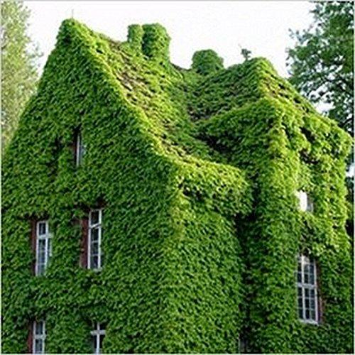 Shiningup Lierre Japonais Creeper Vert Herbe Graines Vigne Parthenocissus Quinquefolia Plantes Anti Rayonnement Rayon Ultraviolet pour La Maison Jardin 20 Pcs/Sac