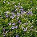lichtnelke - Polster-Glockenblume (Campanula poscharskyana) von Lichtnelke Pflanzenversand auf Du und dein Garten