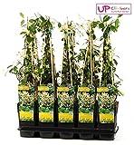 Trachelospermum jasminoides Toskanischer Sternjasmin 75 cm +/-