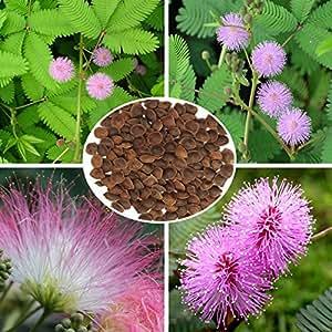 100pcs sensibili semi pianta perenne giardino di erbe Mimosa pudica in vaso