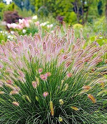 """BALDUR-Garten Lampenputzergras""""Hameln"""" winterhart, 3 Pflanzen Pennisetum Federborstengras, Süßgras von Baldur-Garten auf Du und dein Garten"""