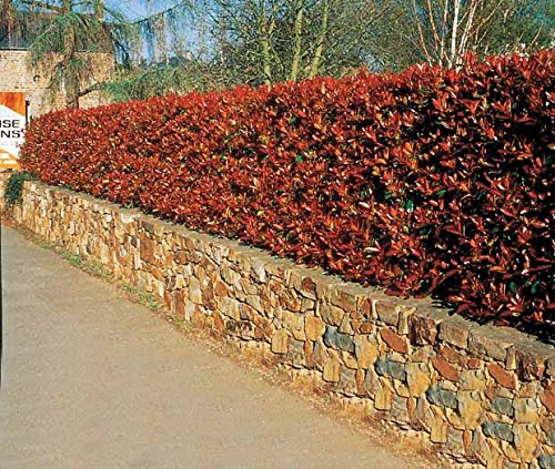 15-photinias-red-robin