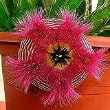Anitra Perkins - 100 Stücke Kakteensamen Farbemischung Sukkulenten Zierpflanze Exotic Hybriden Kaktus Saatgut winterhart mehrjaehrig (2)