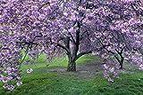 Prunus serrulata, Japanische Zierkirsche 5 Samen -Sehr Zierbaum (Cherry Japanese Flowering)