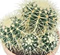 Echinocactus grusonii - Schwiegermutterstuhl - Solitär - 16cm Schale von exotenherz bei Du und dein Garten