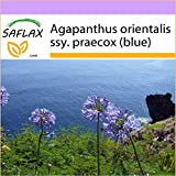 SAFLAX - Agapanto - 50 semi - Agapanthus orientalis ssy. praecox (blue)