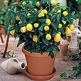 30 Stück Zitronensamen für die Pflanzung Gelbe Zitrone Obstbaum Hausgarten Bonsai Pflanzen von Wongfon